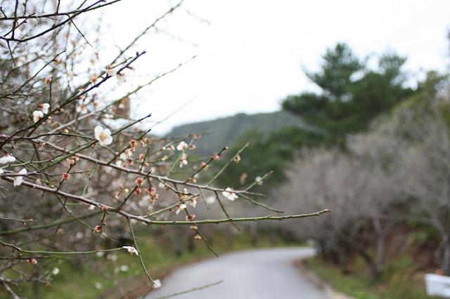 オーシッタイの梅並木の写真