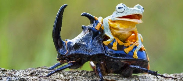 Watch this Cowboy Frog have fun riding a Beetle via geniushowto.blogspot.com reinwardt's flying frog seen climbing on top of the black beetle