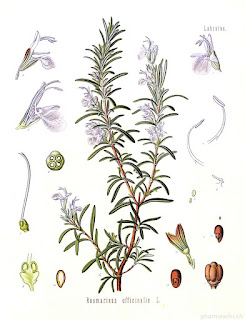 Rosemary (Rosmarinus officinalis) is a plant that does not belong to conifers, such as pine, but because of the design of their leaves, it belongs to the group of conifers.