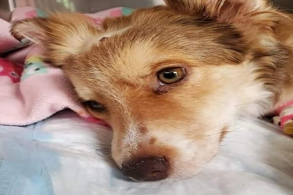 Foster Puppy Beaten So Badly That Shelter Unable To Count All Her Broken Bones