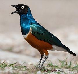 Download suara burung jalak afrika