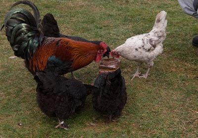 mealworms for hens