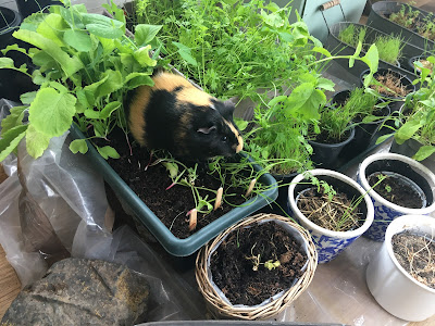 Guinea pig sitting in planter eating vegetable shoots