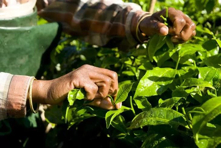 Mão de uma mulher colhendo plantas