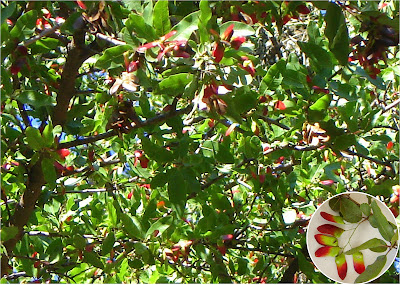 arboles nativos argentina Quebracho colorado chaqueño Schinopsis balansae