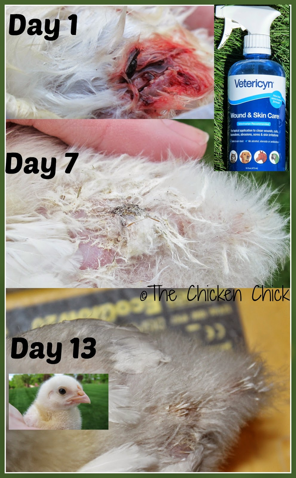Vetericyn Wound & Infection treatment spray healed this baby chick's deep wound in 13 days!