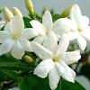 Nih...!!! Baca Manfaat Melati Untuk Kecantikan Dan cara Meramu Manjadi Obat
