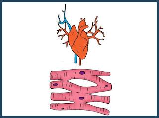 materi pelajaran ciri ciri otot jantung kelas 5 sd
