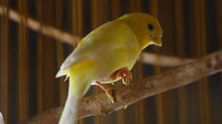 Jenis Jenis Penyakit pada Burung Kenari