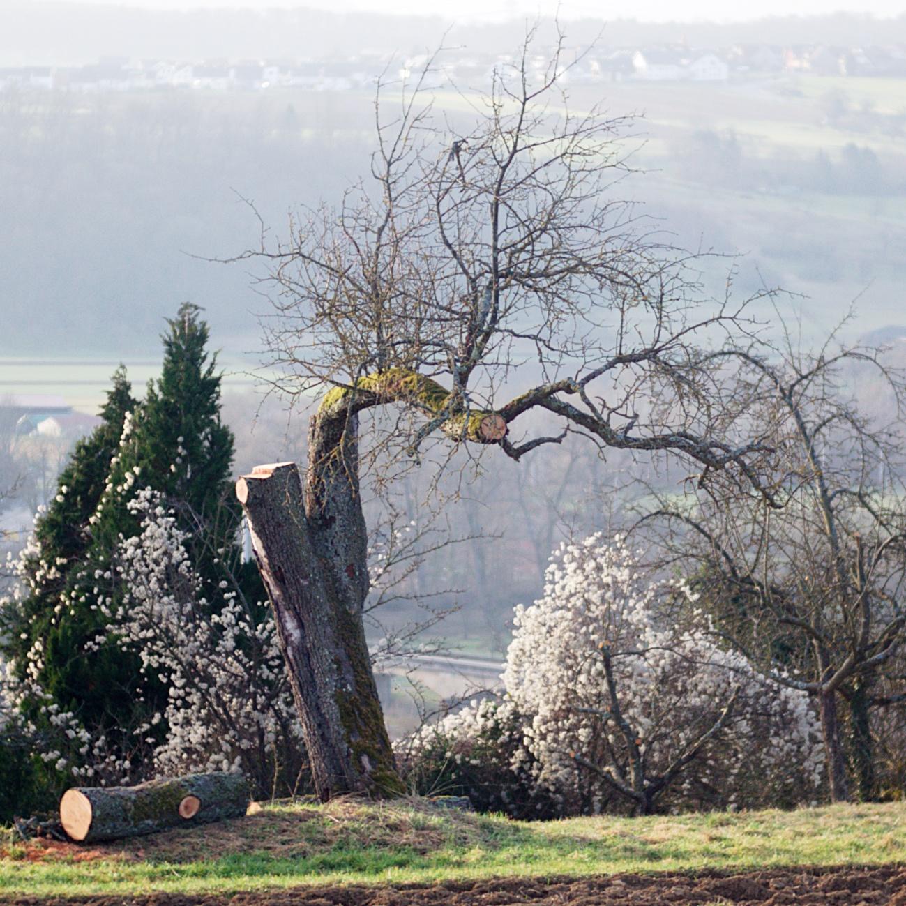 Verstümmelter Apfelbaum - Das quadratische Bild (6)