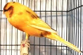 atau yang mempunyai nama latin serinus canaria merupakan jenis burung pemakan biji bijian Rajajangkrik-info terkini 2020, Tips Cara Mudah Beternak Burung Kenari Yorkshire