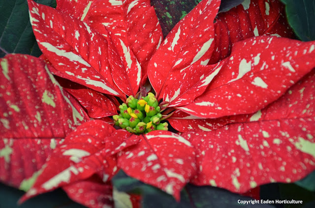 WHY DO POINSETTIAS DROP THEIR LEAVES