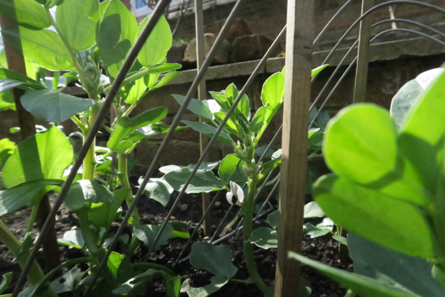 Broad beans starting to show white flowers