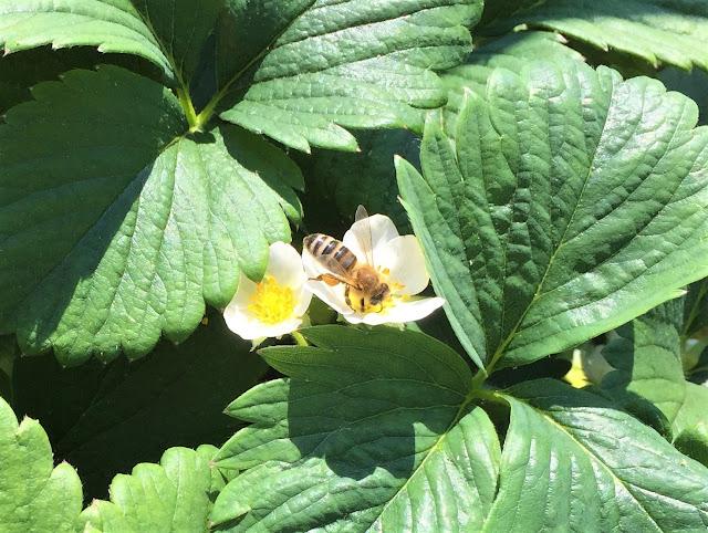 Biene auf Erdbeerblüte Wädenswil 6