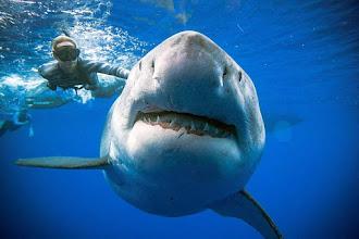 Nuotare e trovarsi faccia a faccia con Deep Blue, lo squalo più grande al mondo: è accaduto a un gruppo di sub