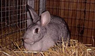 cara ternak kelinci pedaging,cara ternak kelinci pemula,cara ternak kelinci hias,cara ternak kelinci yang baik,cara ternak kelinci anggora,cara ternak kelinci daging,