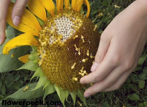 Tips on how to Harvest Sunflower Seeds