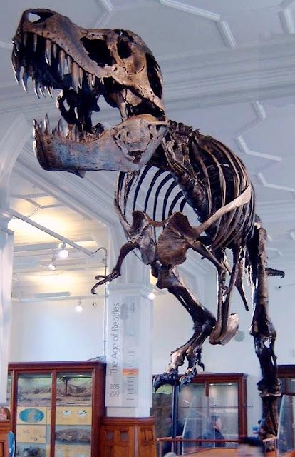 التيرانوصور Tyrannosaurus Stan_the_Trex_at_Manchester_Museum