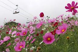コスモス100万本見頃 旬花咲く黒姫高原