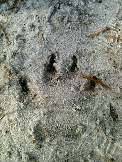 Animal Prints at Jonathan Dickinson State Park Florida.  Panther Prints?