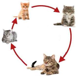 Daur Hidup Kucing www.simplenews.me