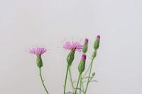 山野草のホソバタムラソウの花のアップ