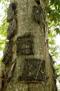 A tree in Indonesia with carved out burial chambers for children.