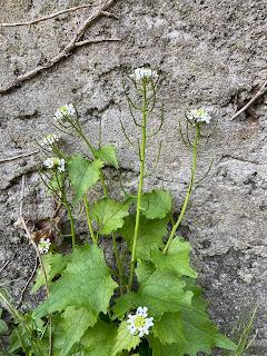 [Brassicaceae] Alliaria petiolata – Garlic Mustard.