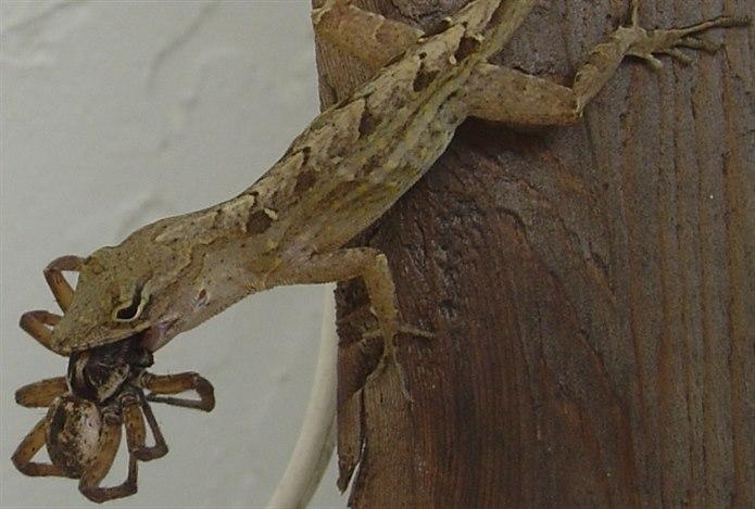 Kertenkele örümcek yer