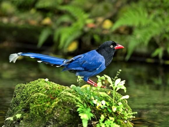 طيور نــادرة رائــــــعة Formosan-Blue-Magpie
