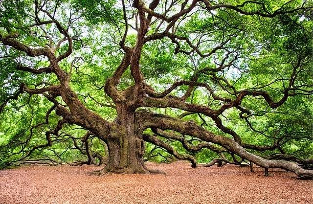Huge Oak Tree