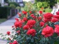 Cara Mudah Menanam Bunga Mawar di Dalam Polybag