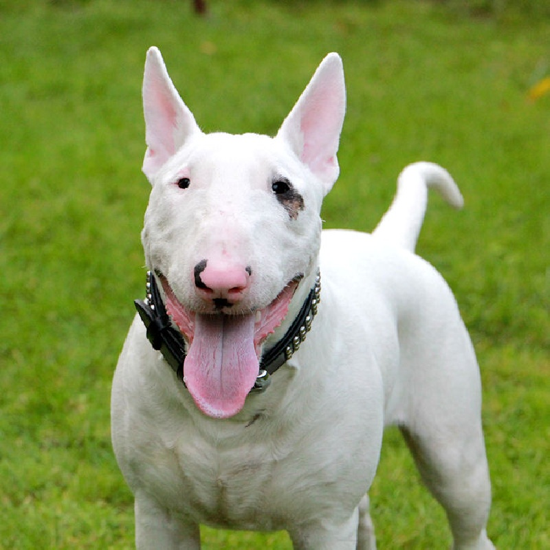 Canine Breeds: Bull Terrier
