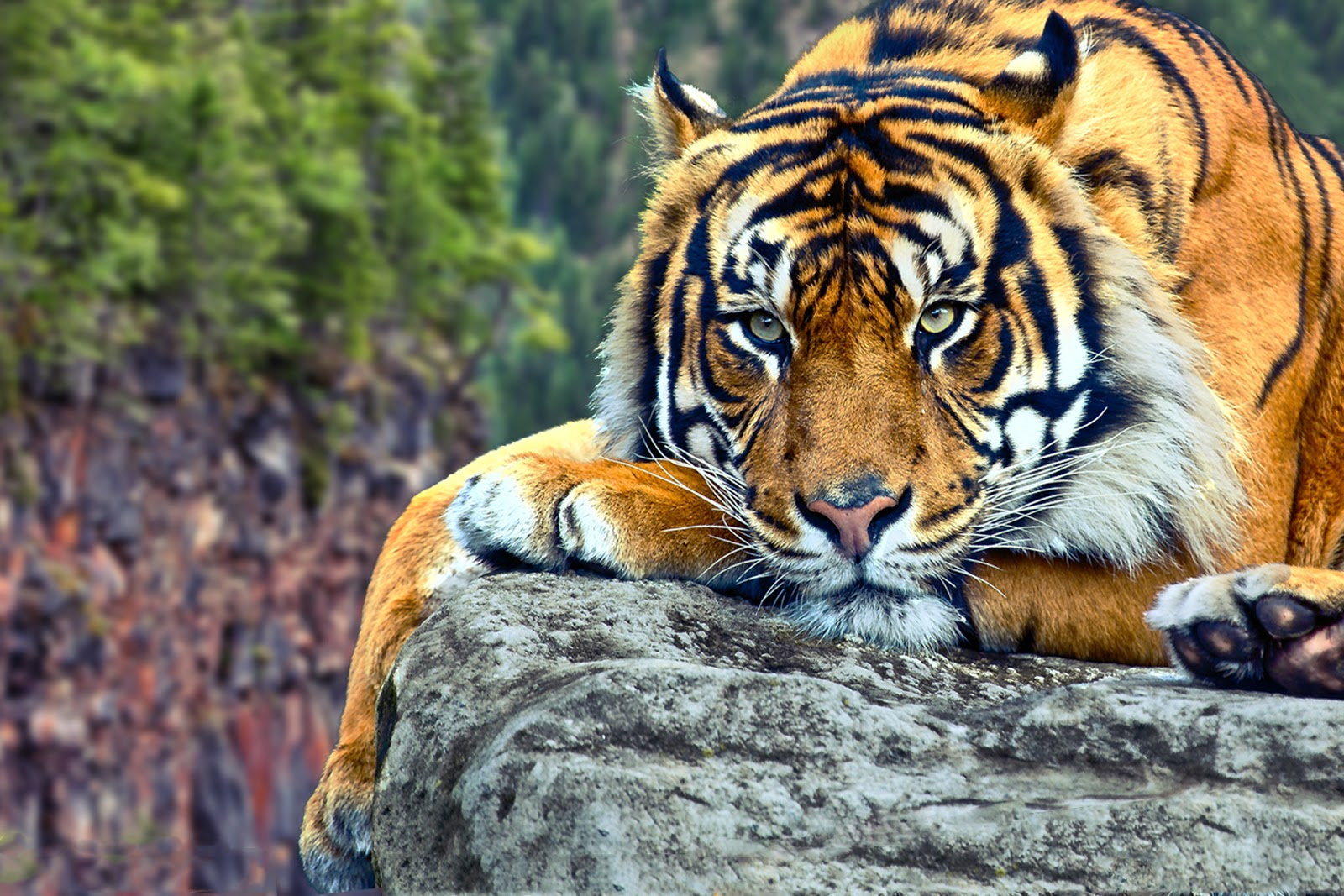 Wildlife of the World: Tiger Desktop Wallpapers HD