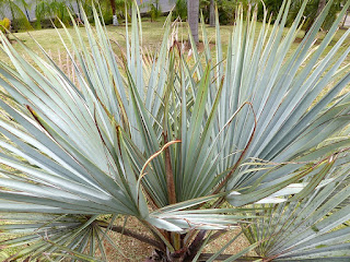 Brahea armata - Palmier bleu du Mexique