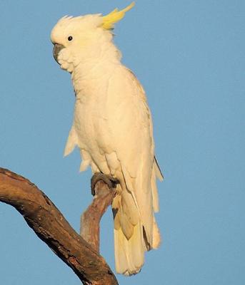 Gambar Burung Kakatua (Lintas Gambar - www.lintasgambar.com)
