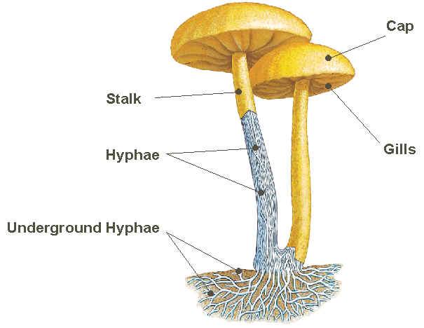 biology 11 : fungus diagram of fungus #2