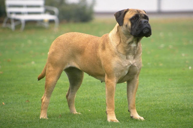 بول ماستف ( bull mastiff )