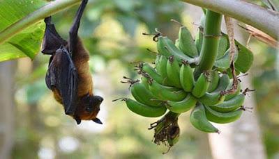 اعراض فيروس نيباه وخطورته على الصحة-خفاش الفاكهة
