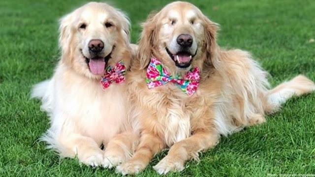 Ένας Τυφλός Σκύλος Έχει Για Οδηγό Μια Σκυλίτσα Που Είναι Πάντα Δίπλα Του