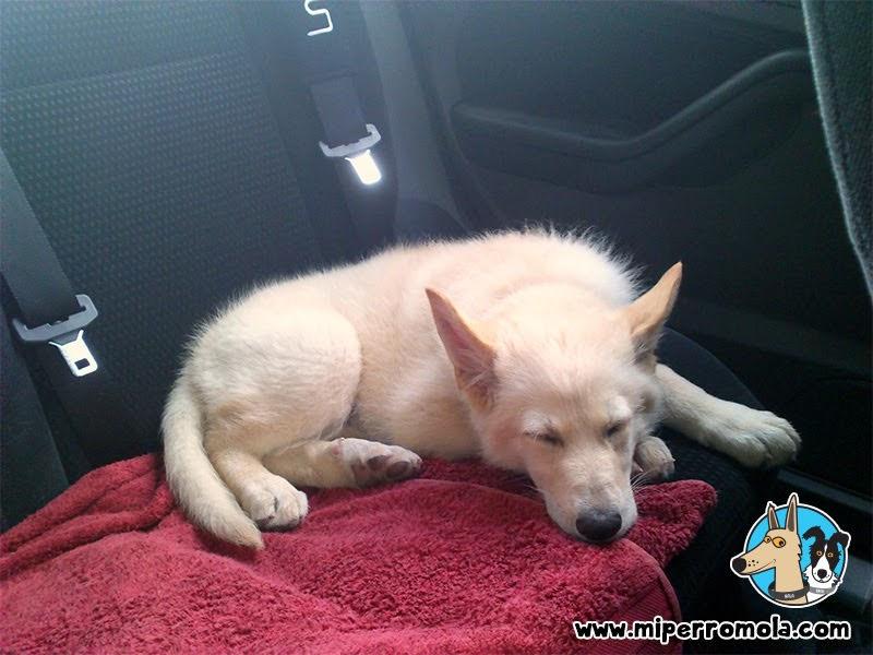 Can de Palleiro en el asiento trasero de un coche.