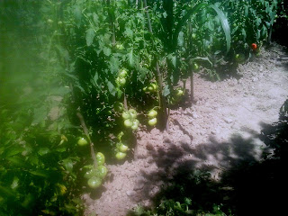 tomate de vara ghittia cultivate in camp deschis