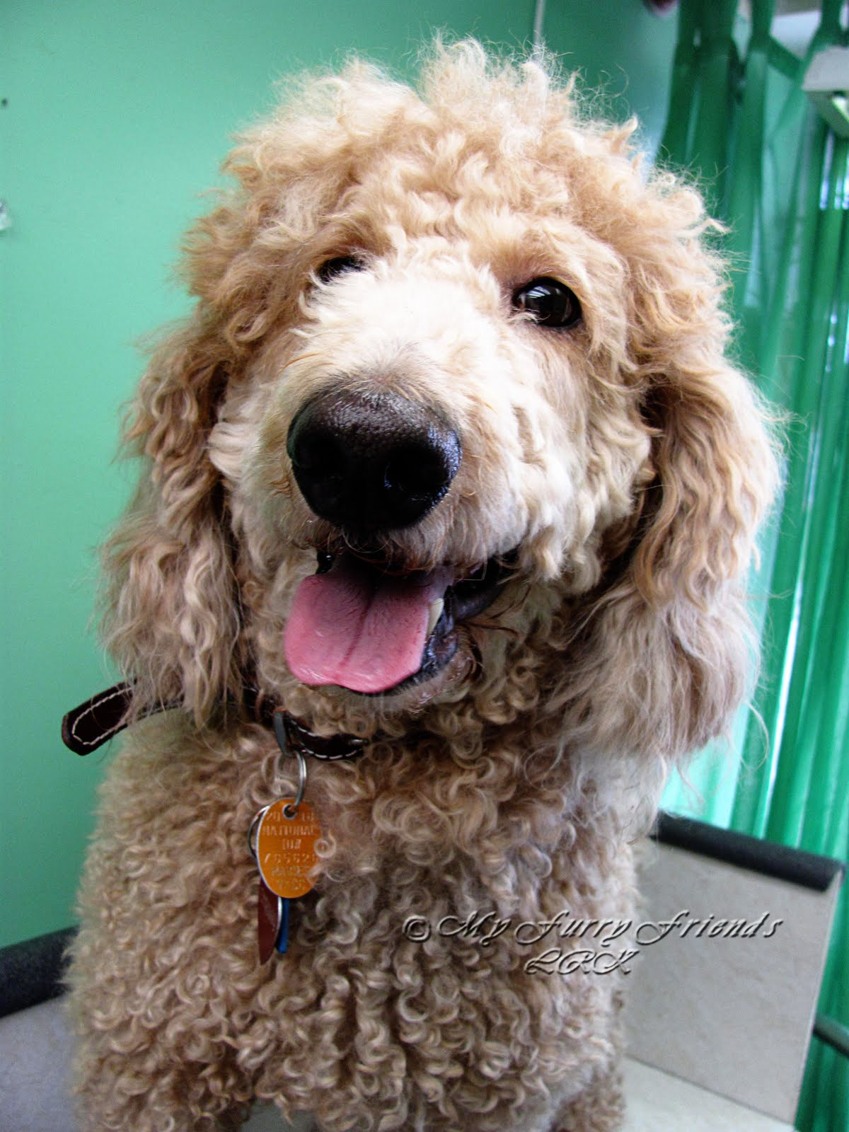 Different Standard Poodle Cuts