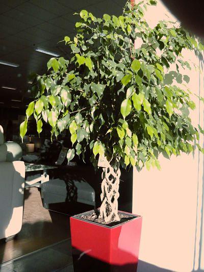Ficus decorando un patio cubierto. La planta se encuentra en un macetón, junto a un ventanal.