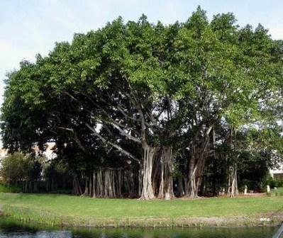 pohon bodhi
