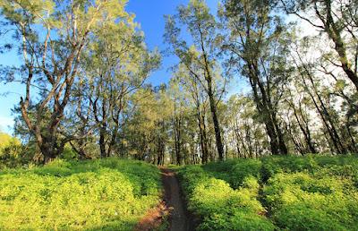Hutan cemara di Fatu Nausus
