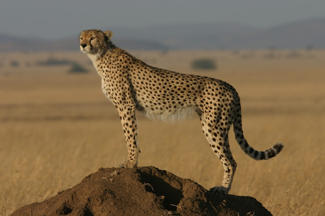 Sprinting towards extinction? Cheetah numbers crash globally