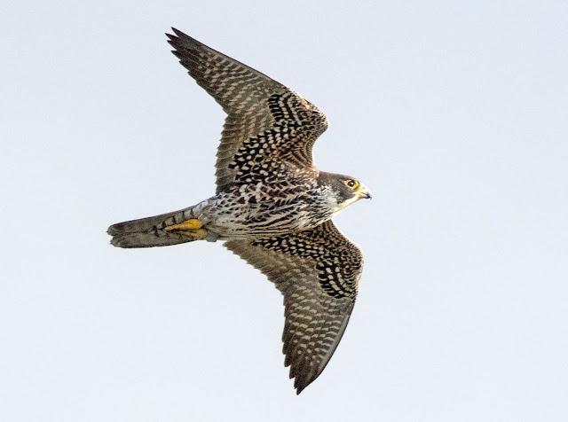 Falcão-peregrino - A ave mais rápida