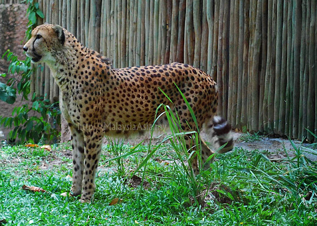 Singapore Zoo Cheetah
