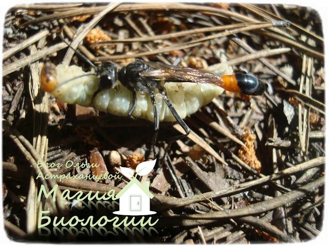 аммофила-парализованная-гусеница